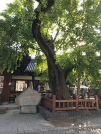 Famous gingko tree, 500 years old
